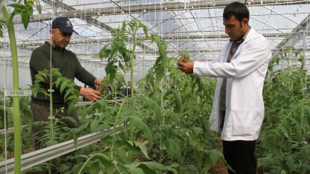 Two men working on crops in a greenhouse